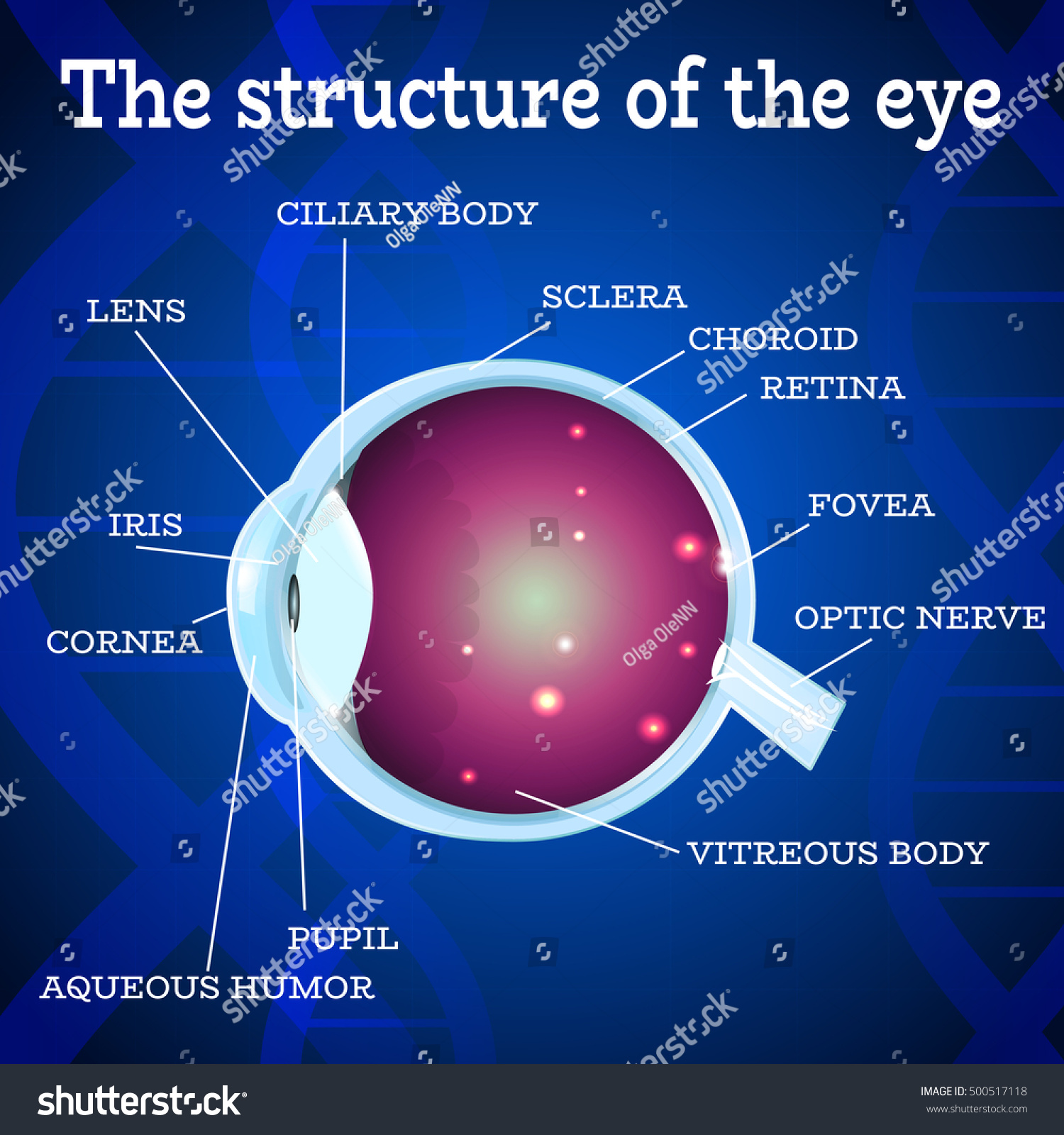 Human Eye Anatomy Structure Medical Manual Ophthalmology Stock ...