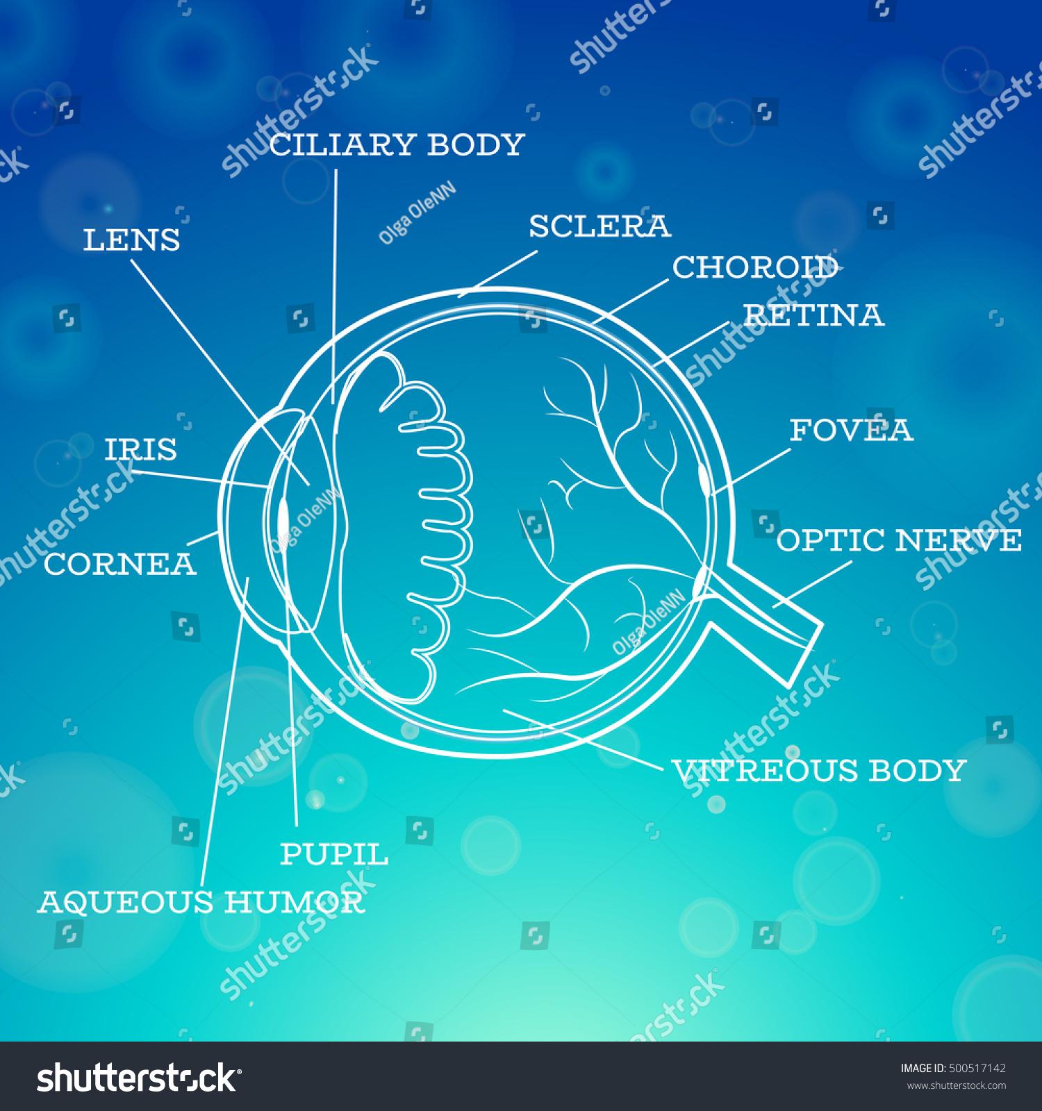 Human Eye Anatomy Structure Medical Infographics Ophthalmology Stock ...
