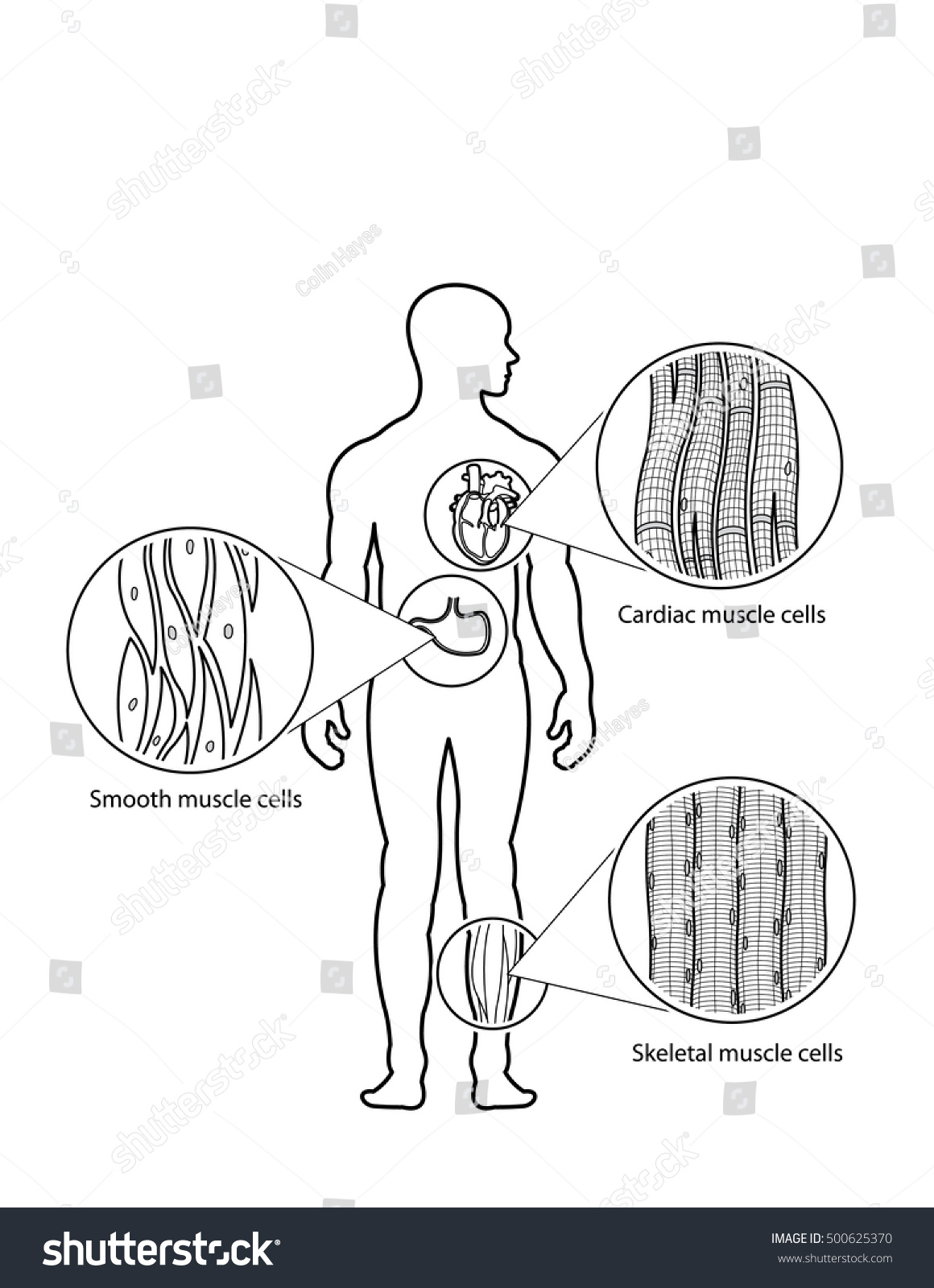 Human Muscle Cell Types Cardiac Skeletal Stock Vector Royalty Free