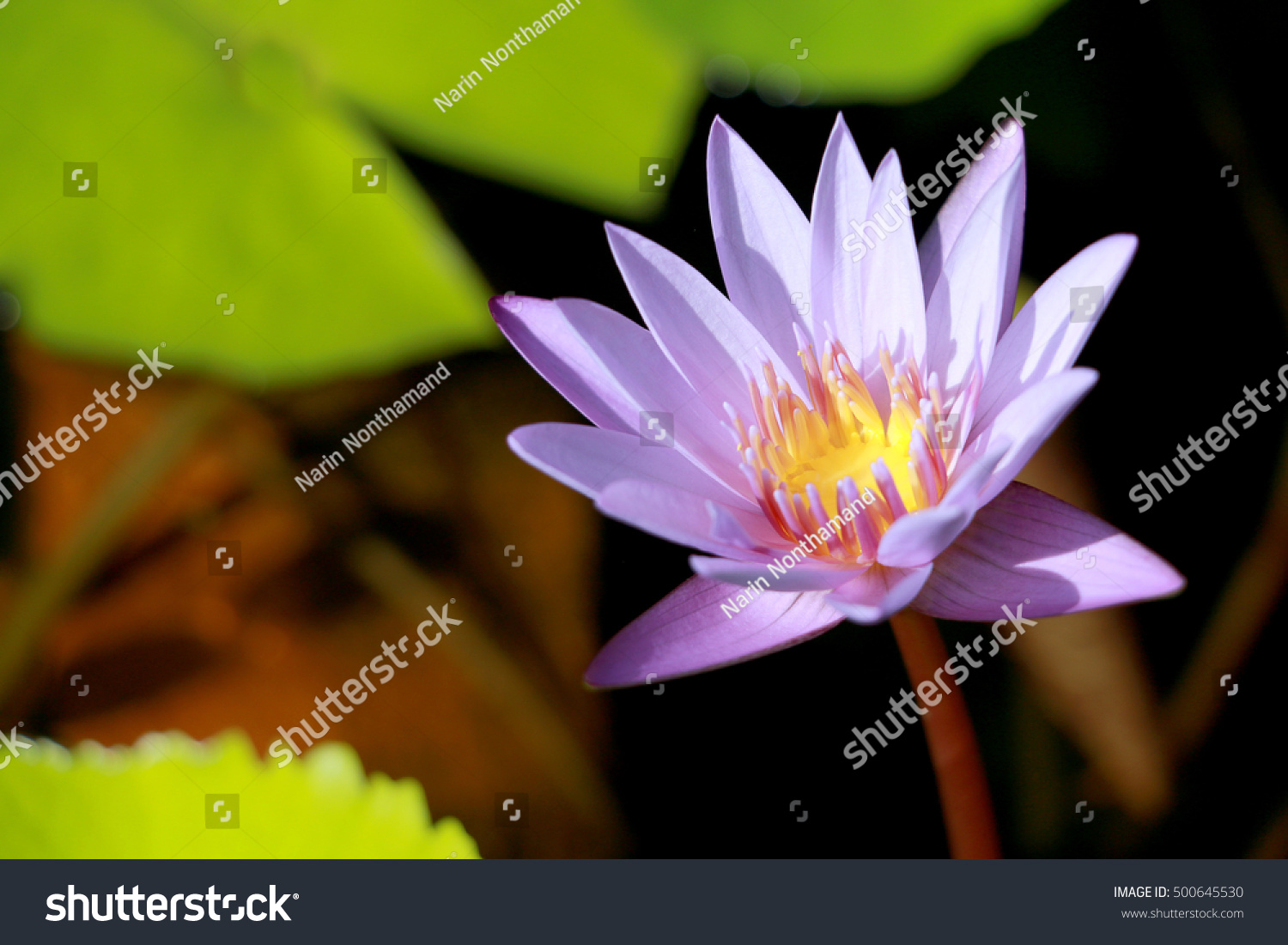 This beautiful waterlily or purple lotus flower is complimented by this beautiful waterlily or purple lotus flower is complimented by the drak colors of the deep blue water surface saturated colors and vibrant detail make izmirmasajfo