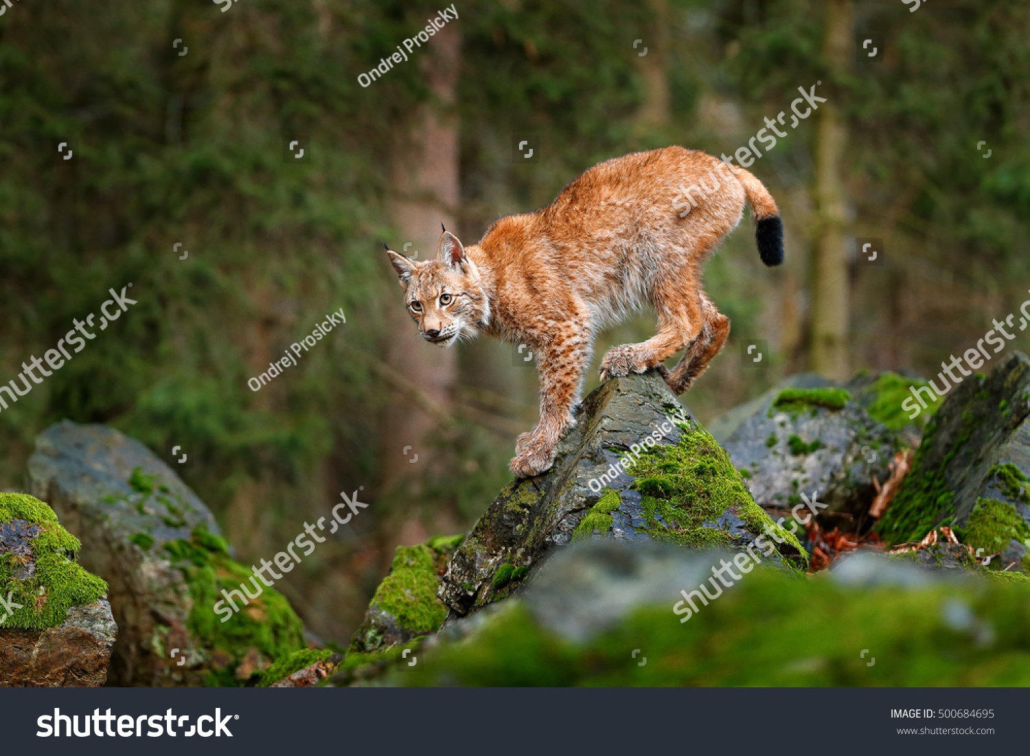 Lynx eurasian wild cat walking on 500684695 shutterstock lynx eurasian wild cat walking on green moss stone with green forest in background voltagebd Image collections