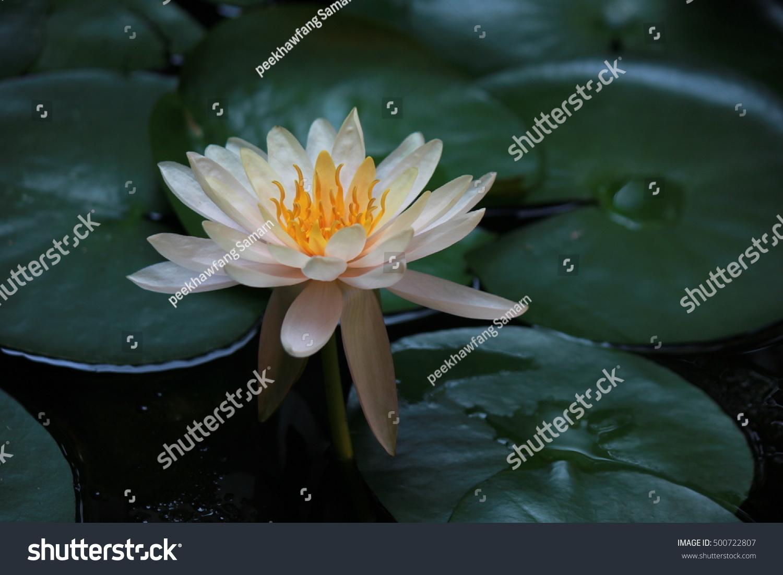 Lotus flower pond stock photo royalty free 500722807 shutterstock izmirmasajfo