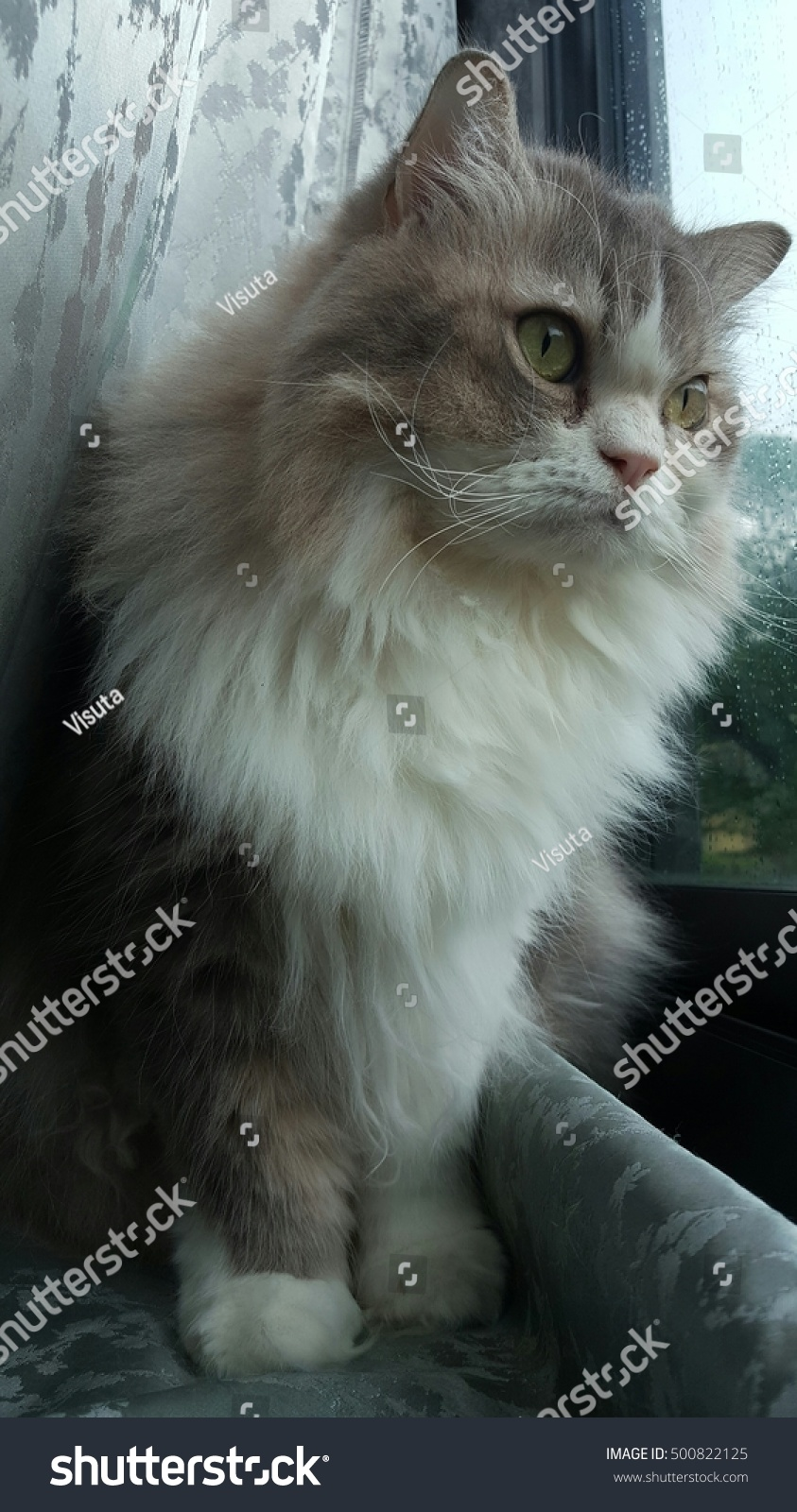 White Gray Persian Cat Standing Stock