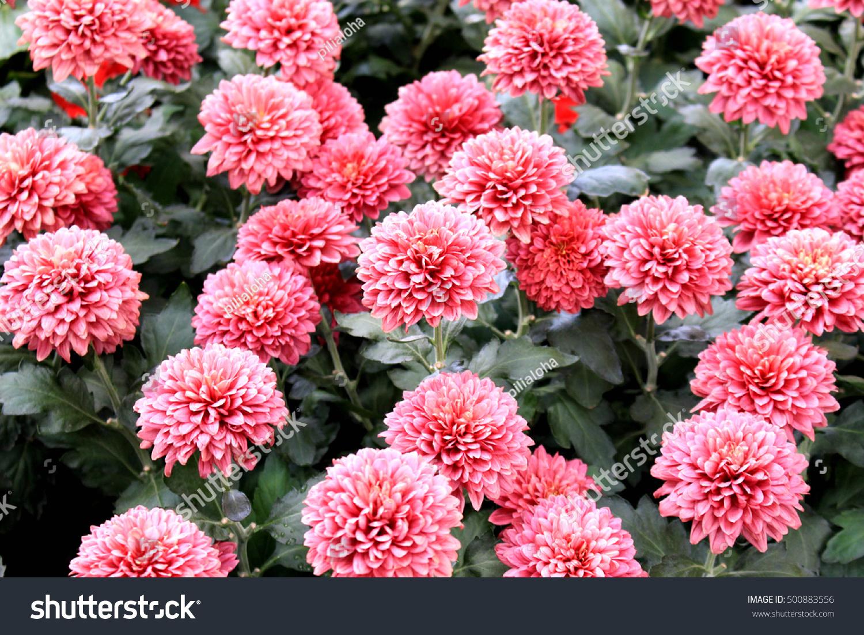 Pink Marigold Flower Garden Stock Photo Royalty Free 500883556