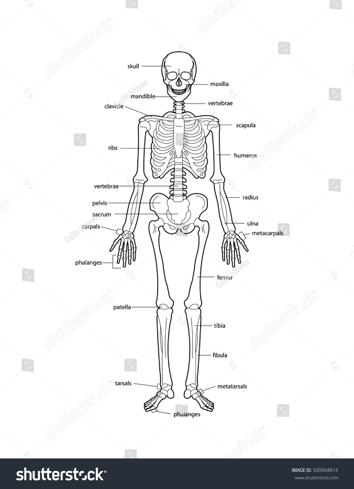 human skeleton bones labeled stock vector 500904814 - shutterstock, Skeleton
