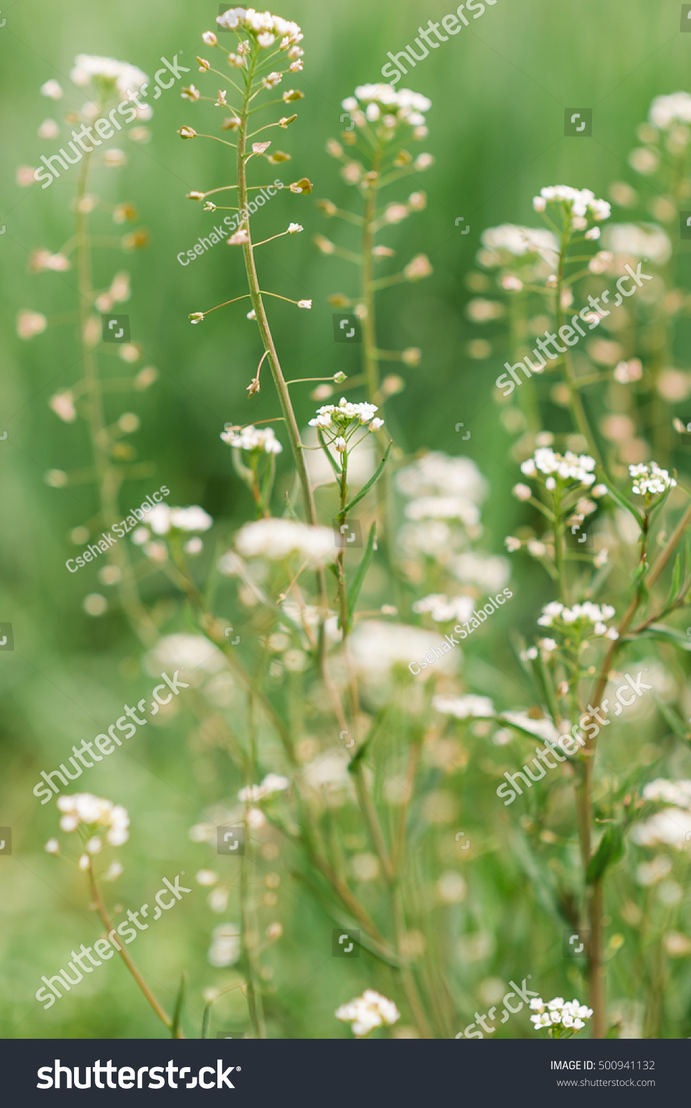 White Flower Weed In Grass Image Collections Fresh Lotus Flowers