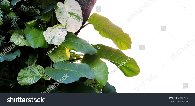 Heart shaped leaves vine devils ivy stock photo edit now shutterstock heart shaped leaves vine devils ivy golden pothos epipremnum aureum growing mightylinksfo