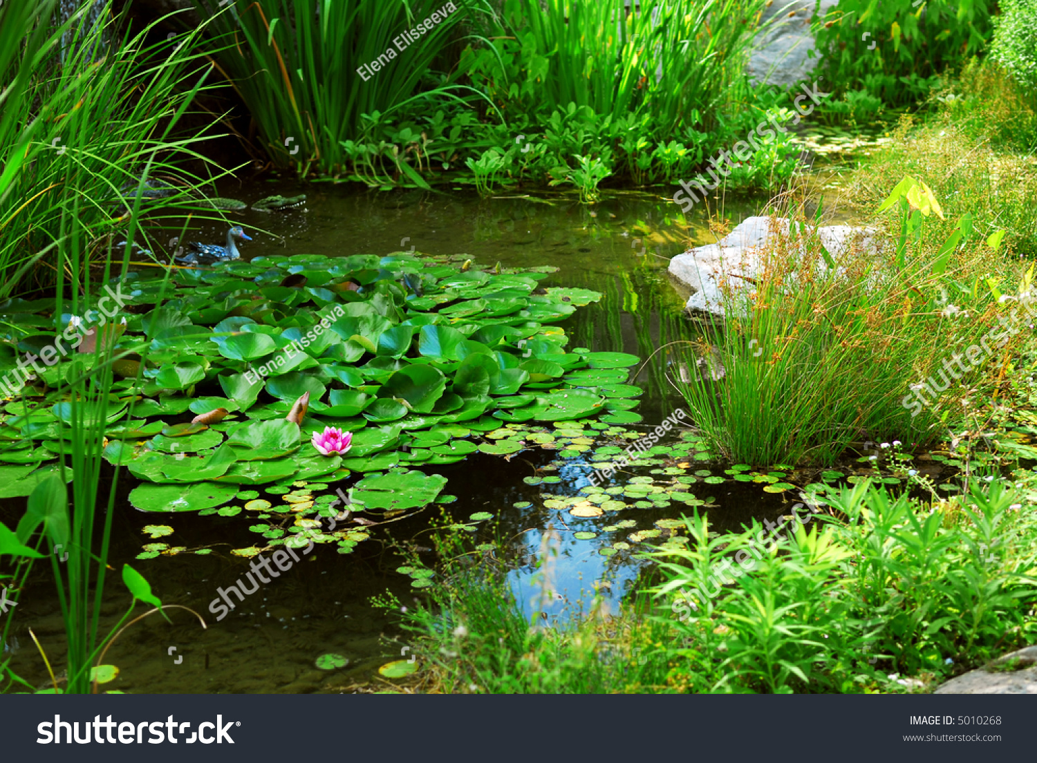 Pond landscaping with aquatic plants and water lilies for Pond with plants