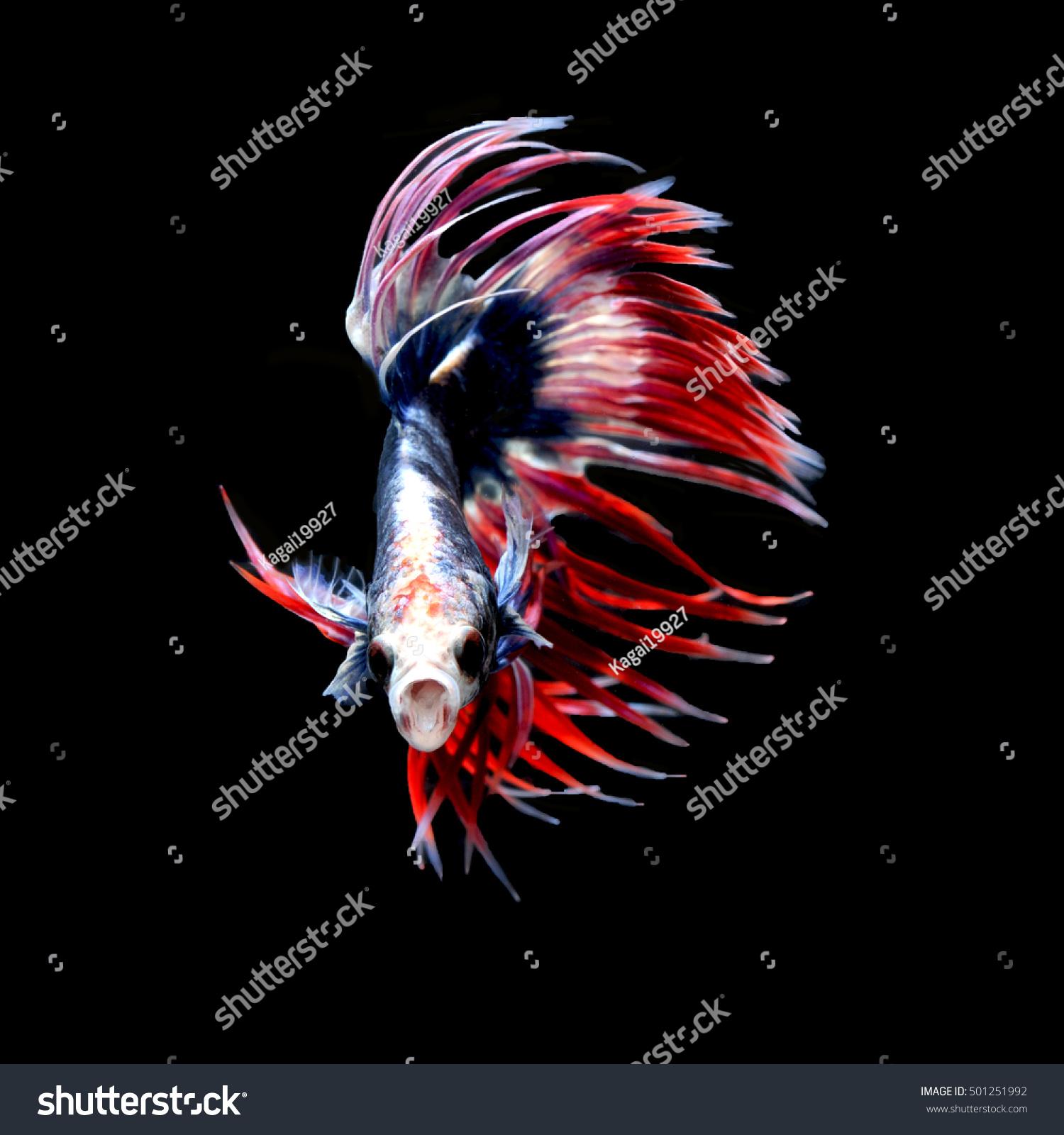 Betta Fish Fancy Dragon Siamese Fighting Stock Photo (Royalty Free ...