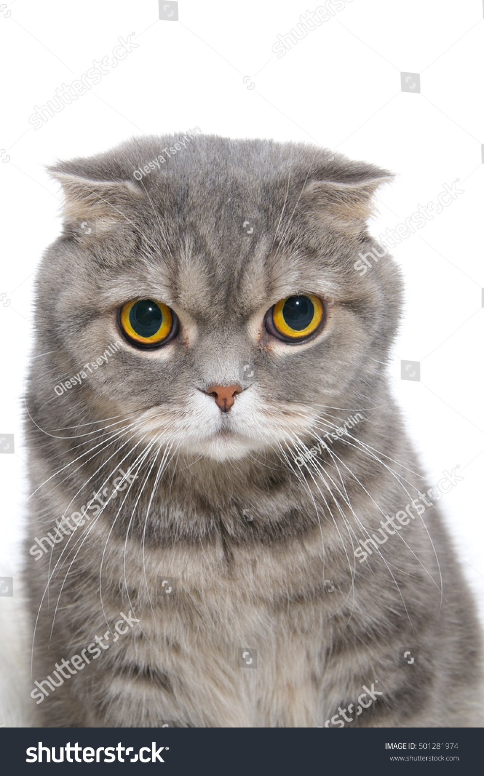 Portrait Angry Cat Breed Scottish Fold Stock