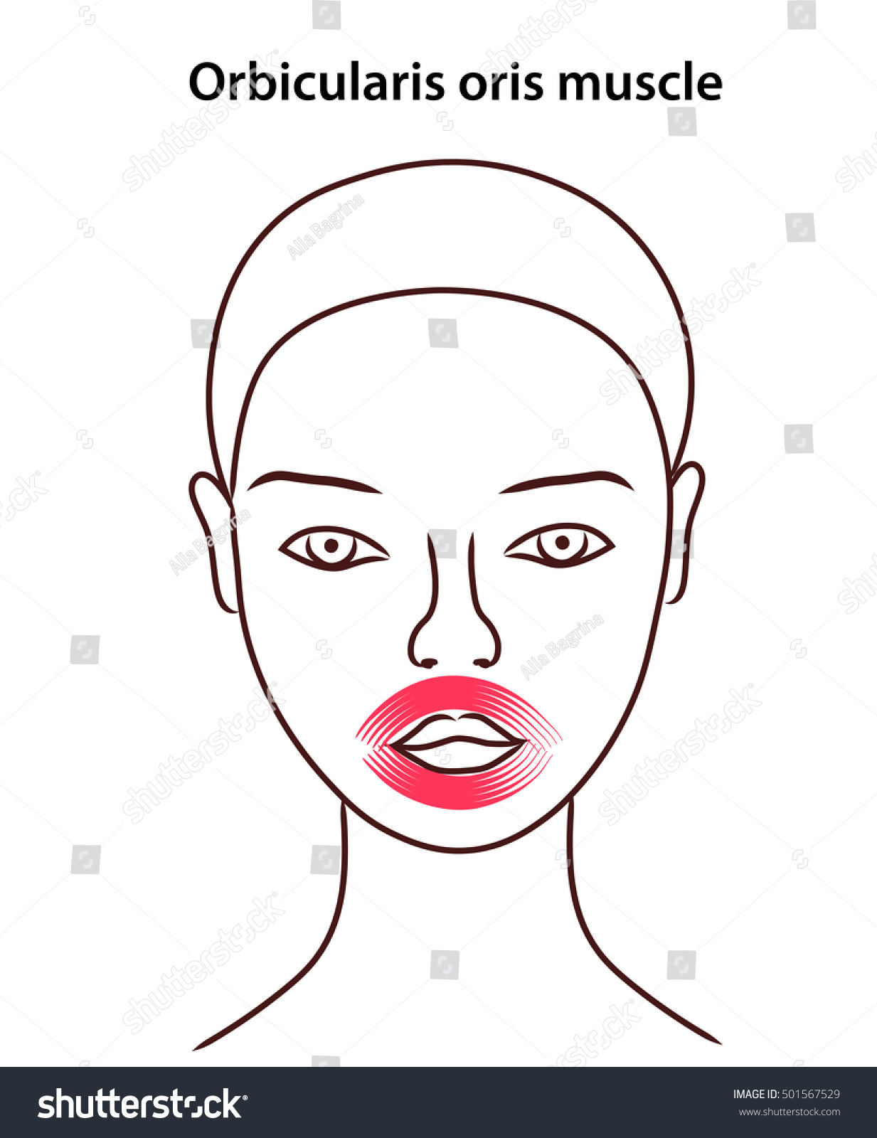 Location Orbicularis Oris Muscle On Face Stock Vector Royalty Free