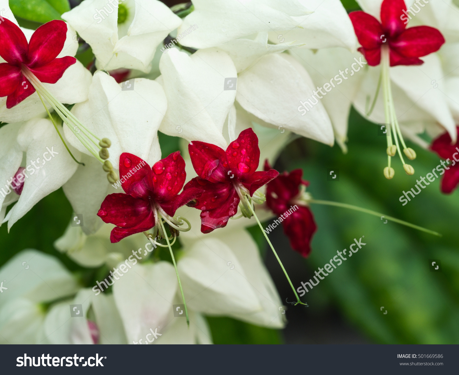 Rain drop on white bleeding heart stock photo royalty free rain drop on white bleeding heart stock photo royalty free 501669586 shutterstock izmirmasajfo