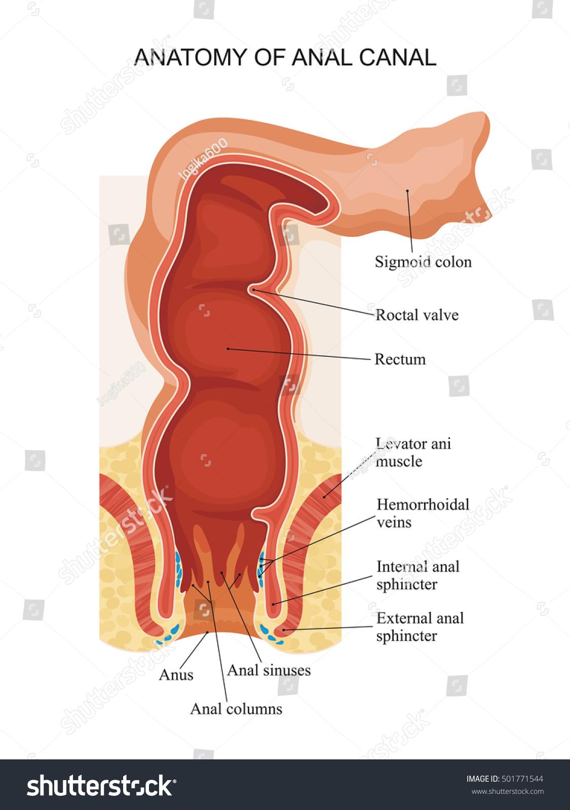 Anatomy Anal Canal Stock Illustration 501771544 Shutterstock