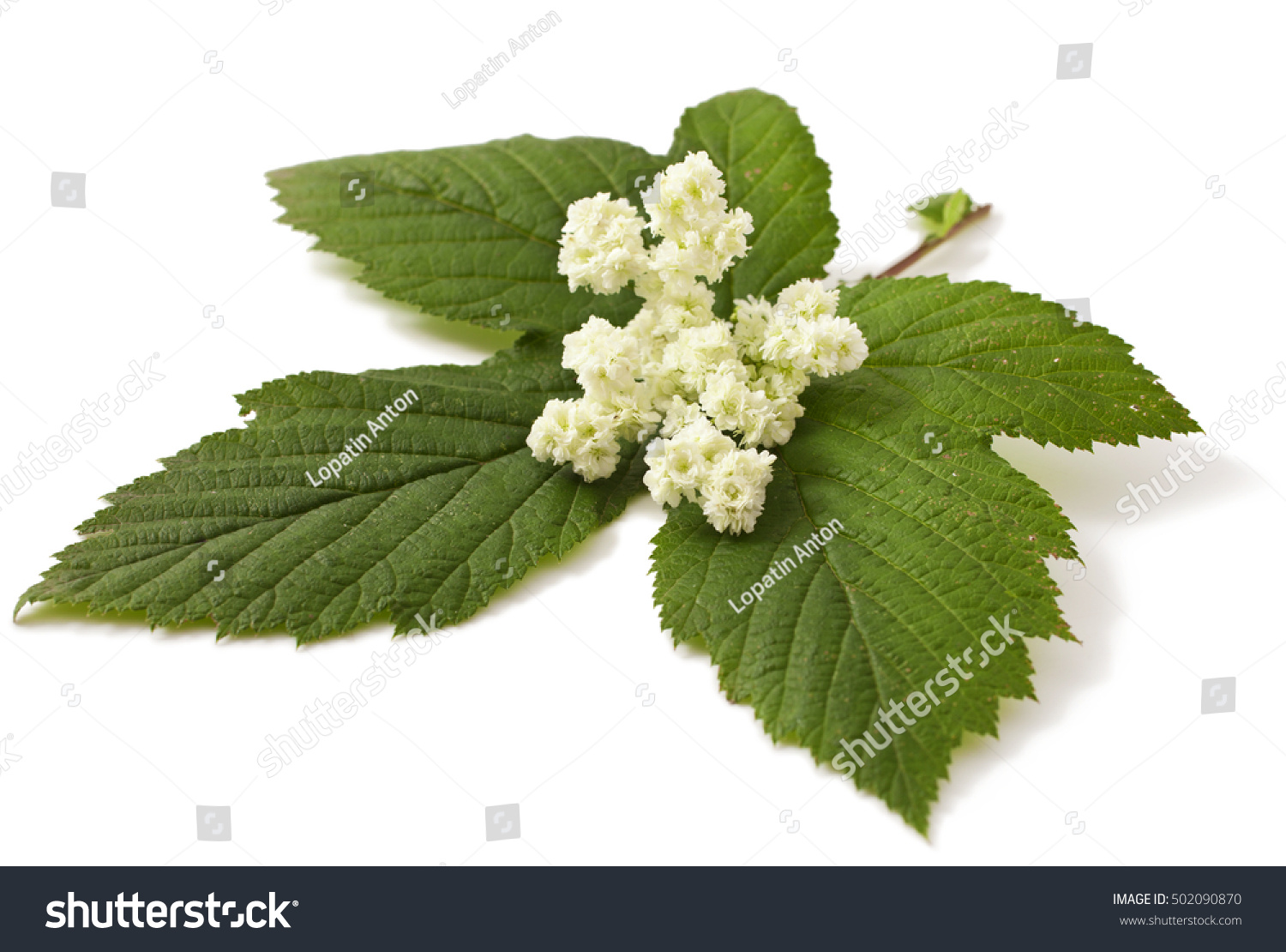 Meadowsweet: Pictures, Flowers, Leaves and Identification ...