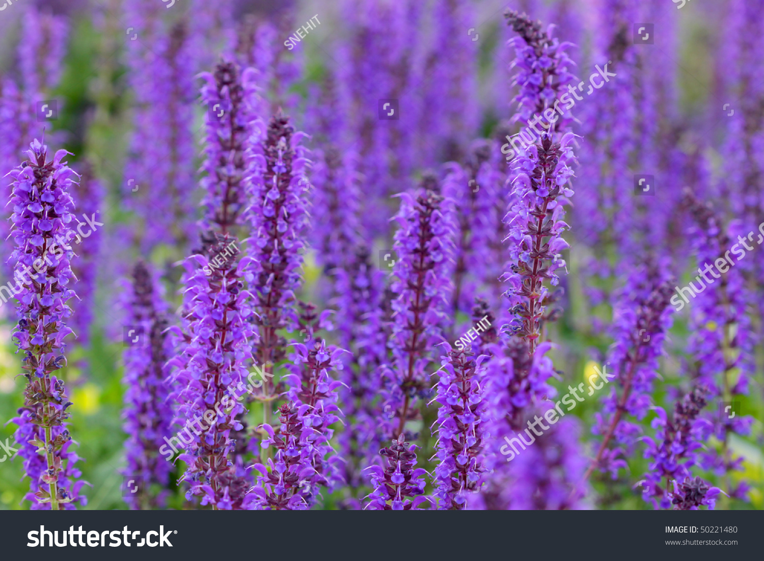 Many Tall Purple Flowers Garden Stock Photo Edit Now 50221480