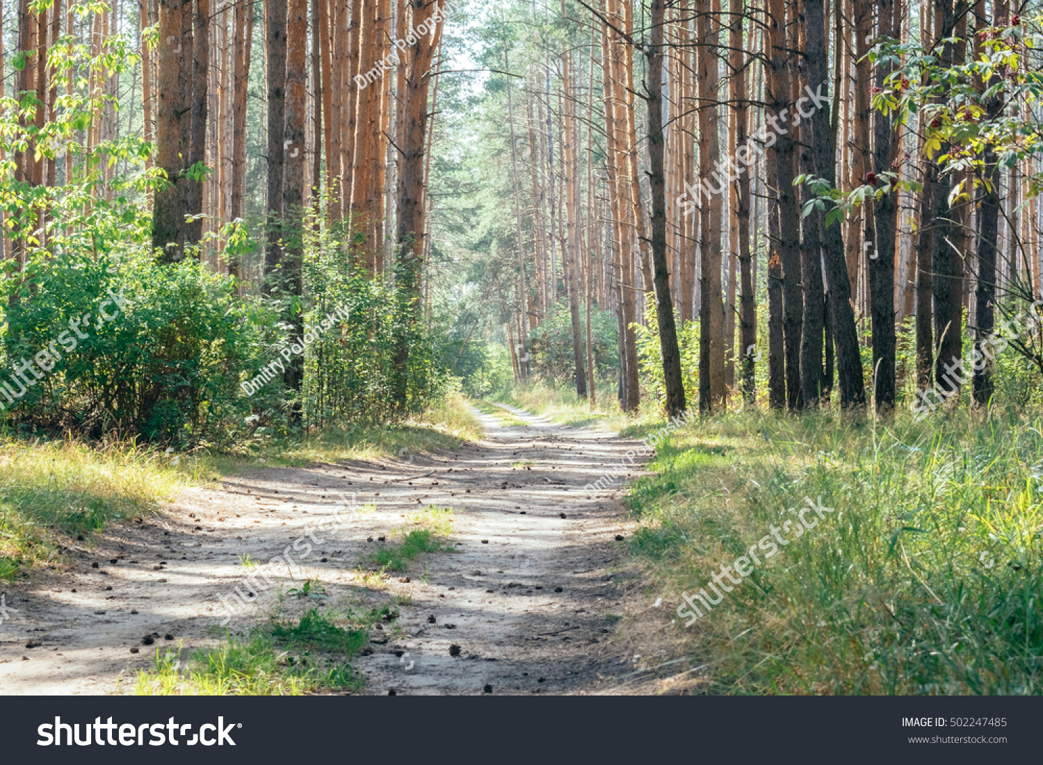 outdoor nature photography. Evergreen Pine Forest With Natural Walkway In Sunny Day Light. Outdoor Woods Nature Landscape Photography