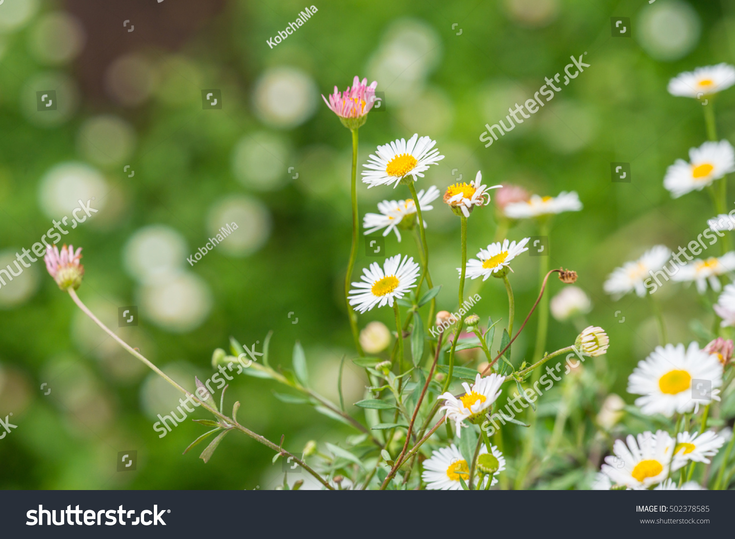 Small daisy flower on green rural meadow with shallow focus for small daisy flower on green rural meadow with shallow focus for natural spring background ez canvas izmirmasajfo
