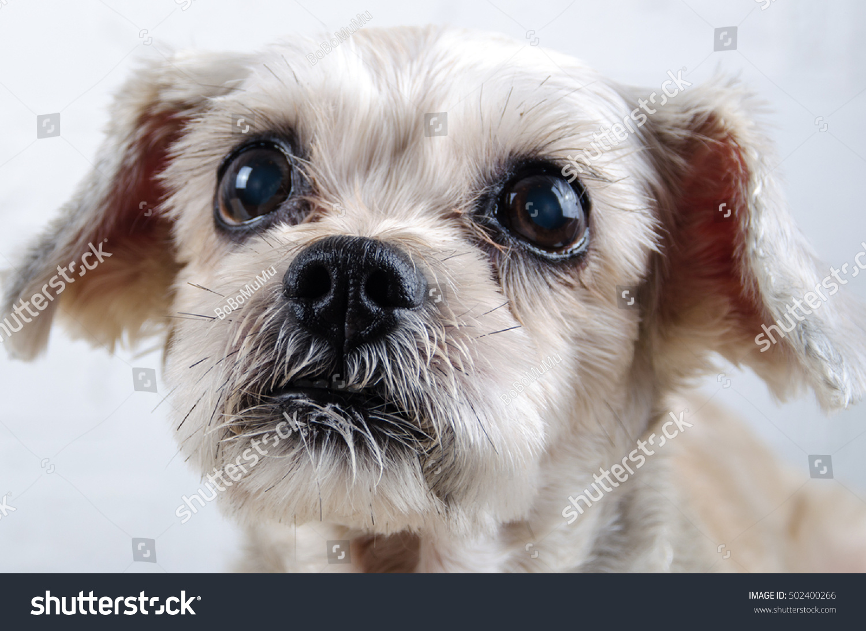 Close Short Hair Mixed Breed Puppy Stock Photo Royalty Free
