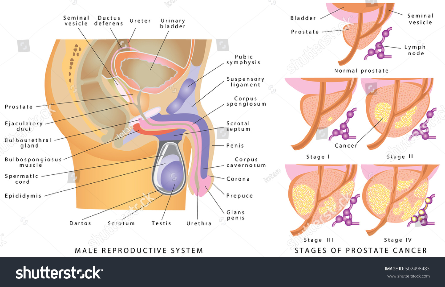 Male Genitourinary System Anatomy Male Reproductive Stock