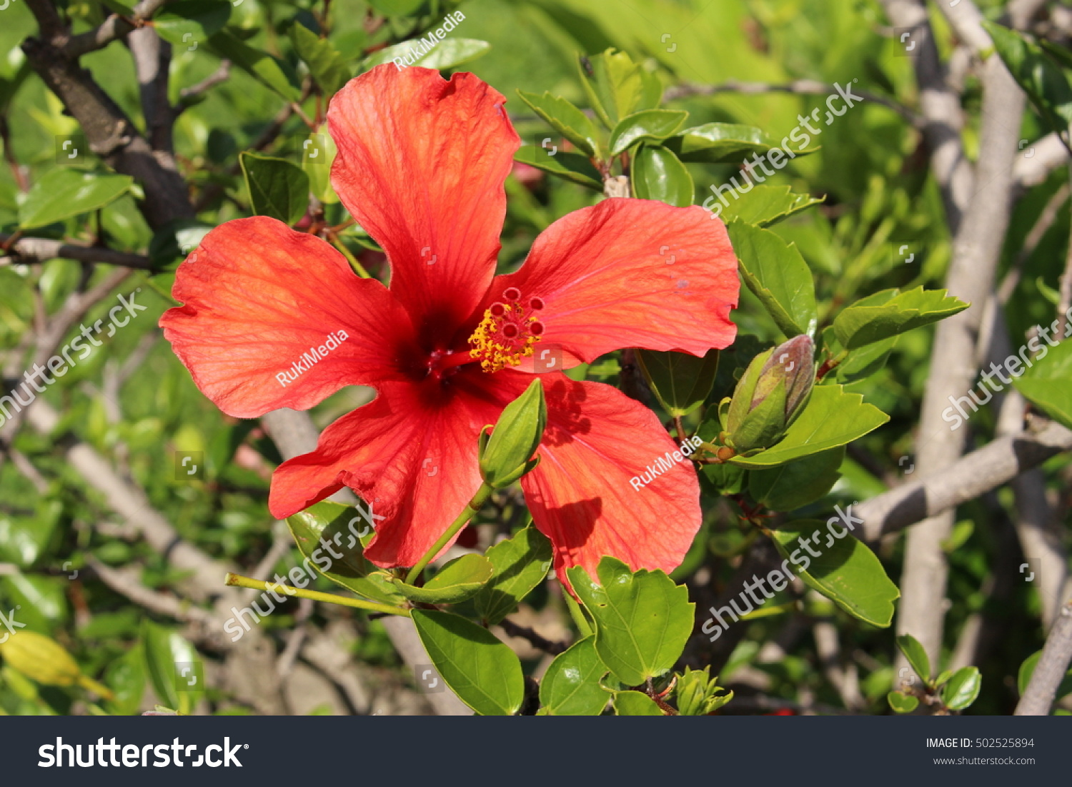 Red chinese hibiscus flower or china stock photo 502525894 red chinese hibiscus flower or china rose hawaiian hibiscus shoeblackplant izmirmasajfo Image collections