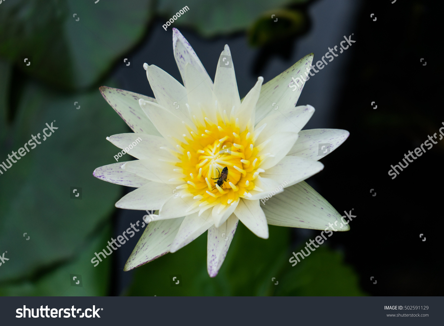 White Lotus Flower With Yellow Pollen White Lotus Flowers With Bee