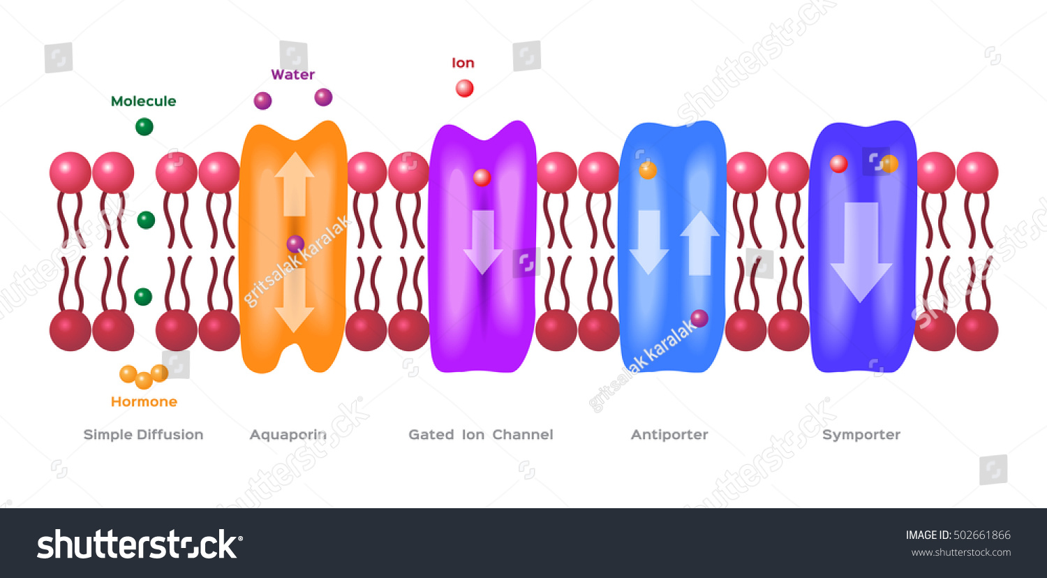 simple diffusion on cell transport mechanisms Active transport requires chemical energy because it is the movement of  biochemicals  three different mechanisms for passive transport in bilayer  membranes.