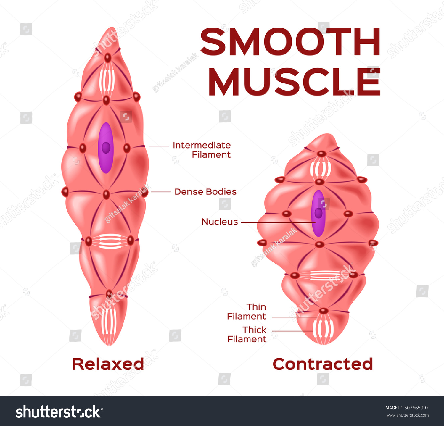 Smooth Muscle Cell Vector Anatomy Relaxed Stock Vector HD (Royalty ...