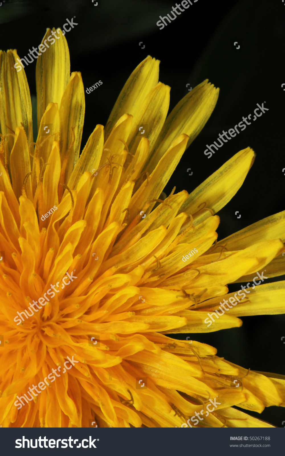 This Closeup Shot Yellow Dandelion Flower Stock Photo Edit Now