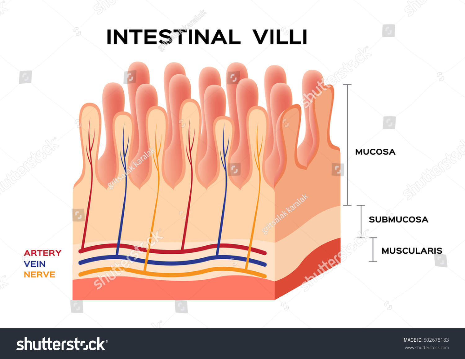 Intestinal Villi Anatomy Small Intestine Lining Stock Vector ...