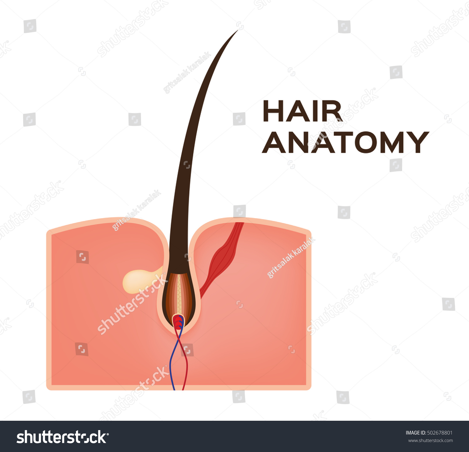 Hair Structure Medical Educational Science Vector Stock Vector ...