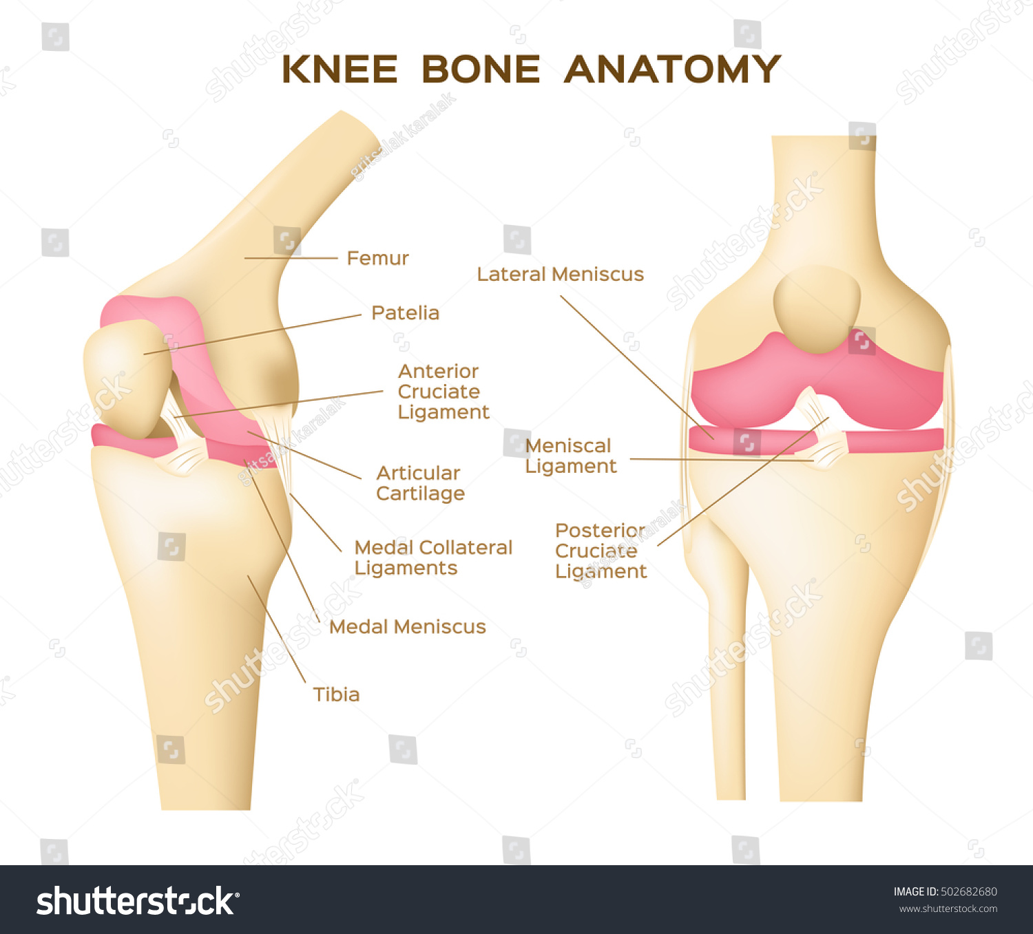 Knee bones anatomy