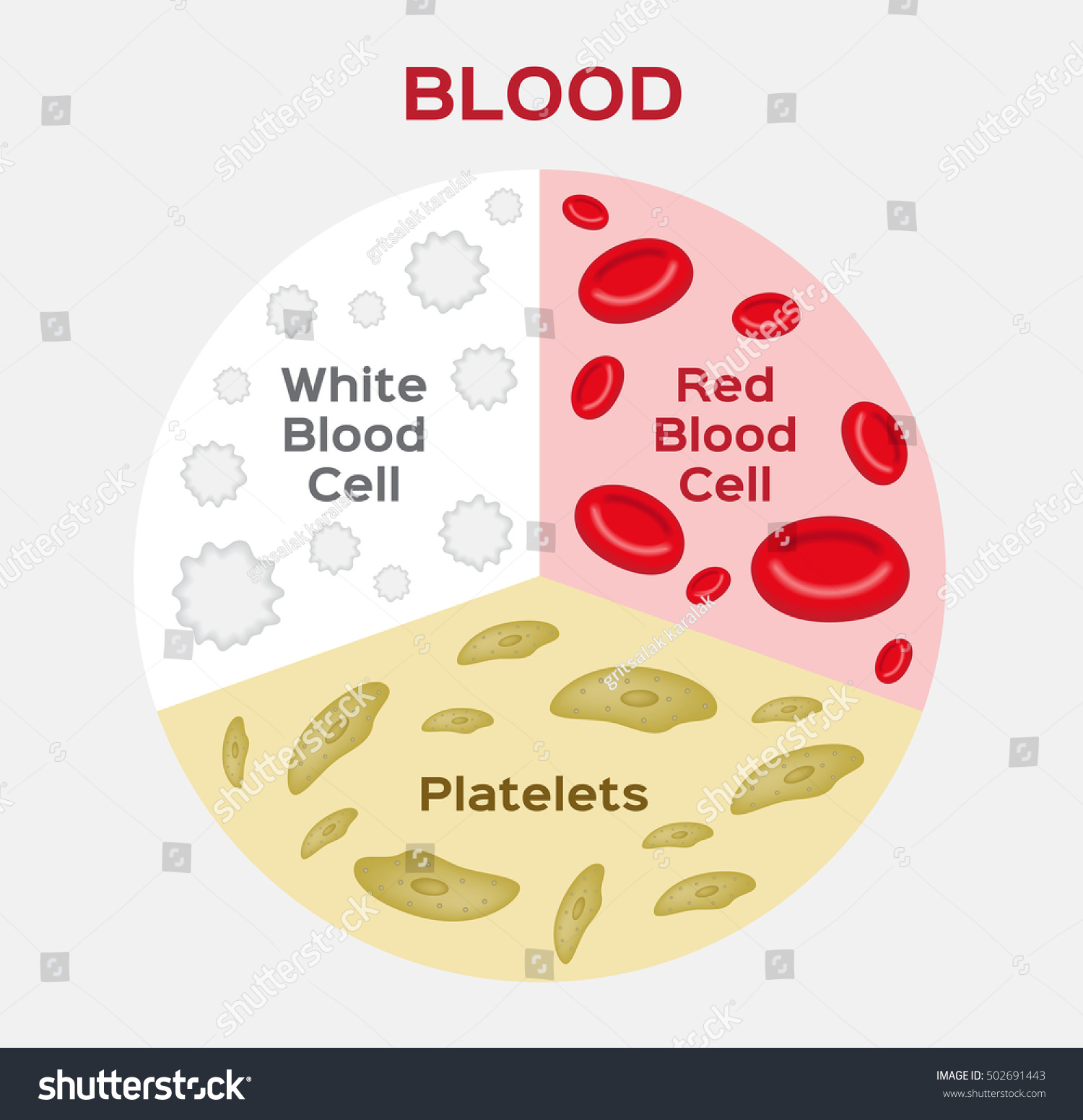 Composition Diagram Red White Blood Cell Stock Vector Royalty Free