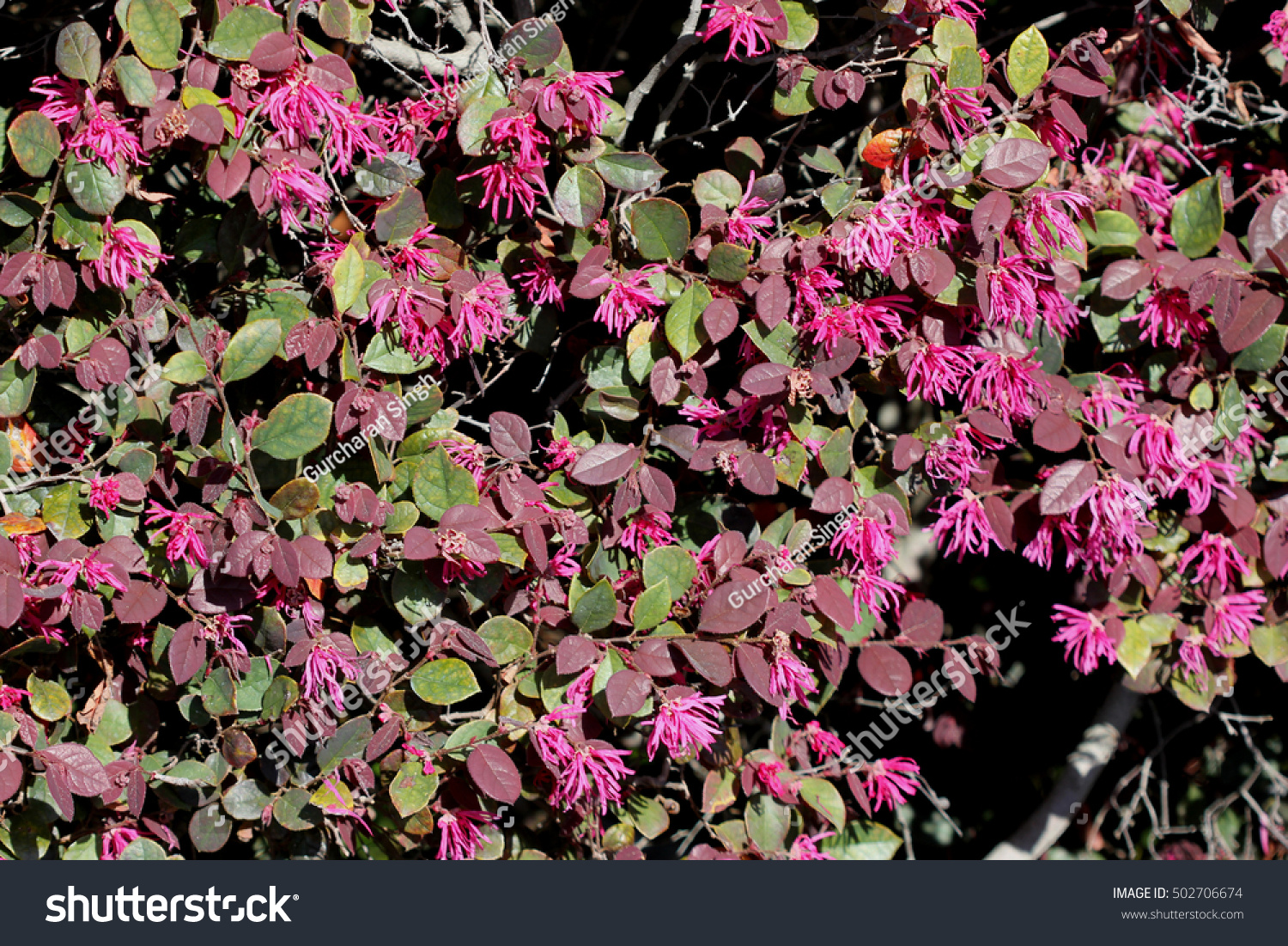 Loropetalum Chinense Chinese Fringe Flower Ornamental Shrub With