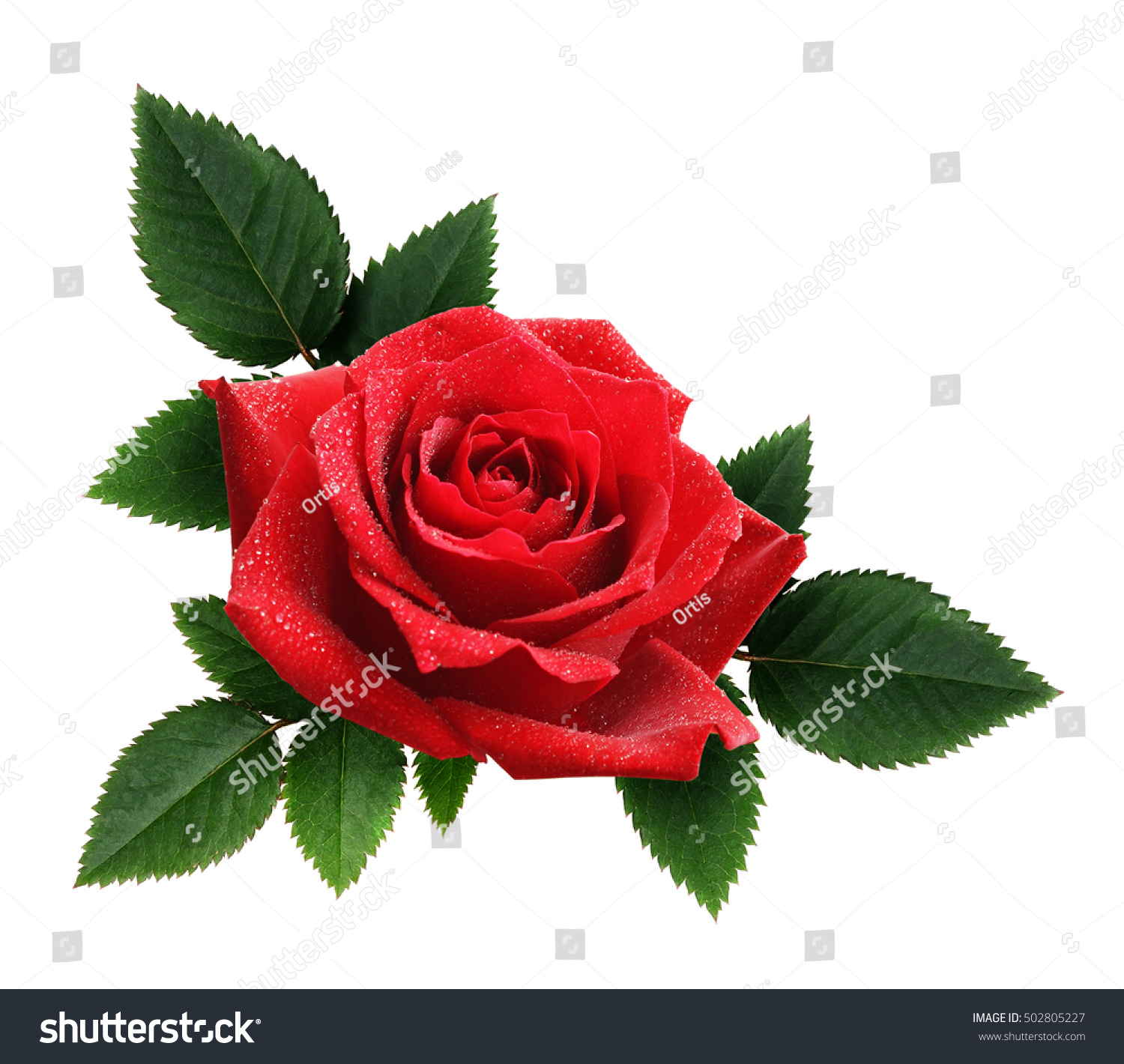 Red Rose Flower Leaves Arrangement Isolated Stock Photo Royalty