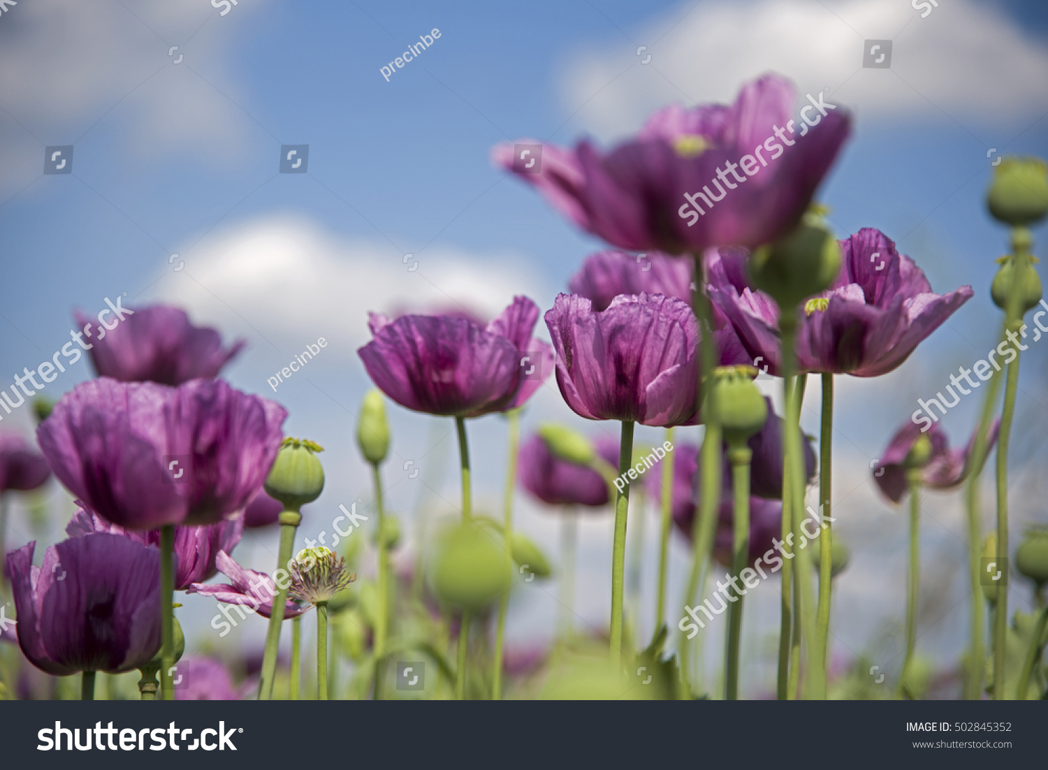 Poppy Flower Variety Colors Very Beautiful Stock Photo Royalty Free