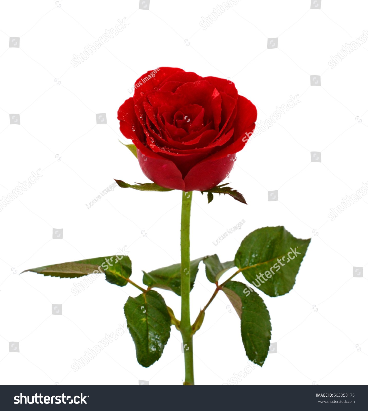 Beautiful Red Rose Flower Isolated On Stock Photo Royalty Free