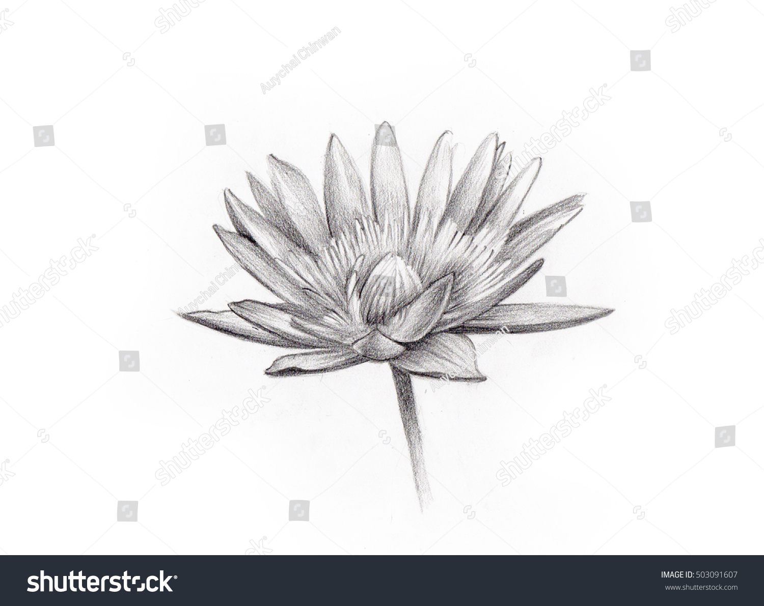Line Art Flower Drawing : Lotus flower isolated line art pencil stock illustration