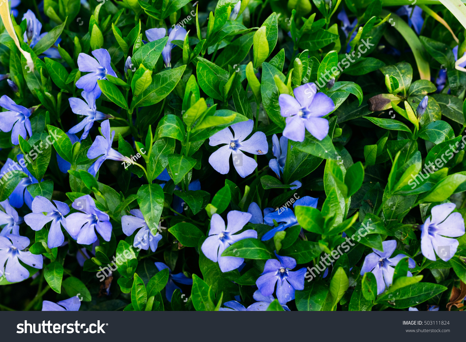 Periwinkle plant green leaves blue flowers stock photo royalty free periwinkle plant with green leaves and blue flowers five petalled izmirmasajfo Choice Image