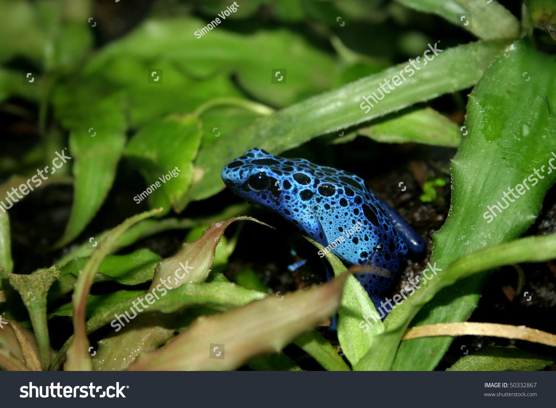 Blue Poison Dart Frogs Terrarium Stock Photo Edit Now 50332867