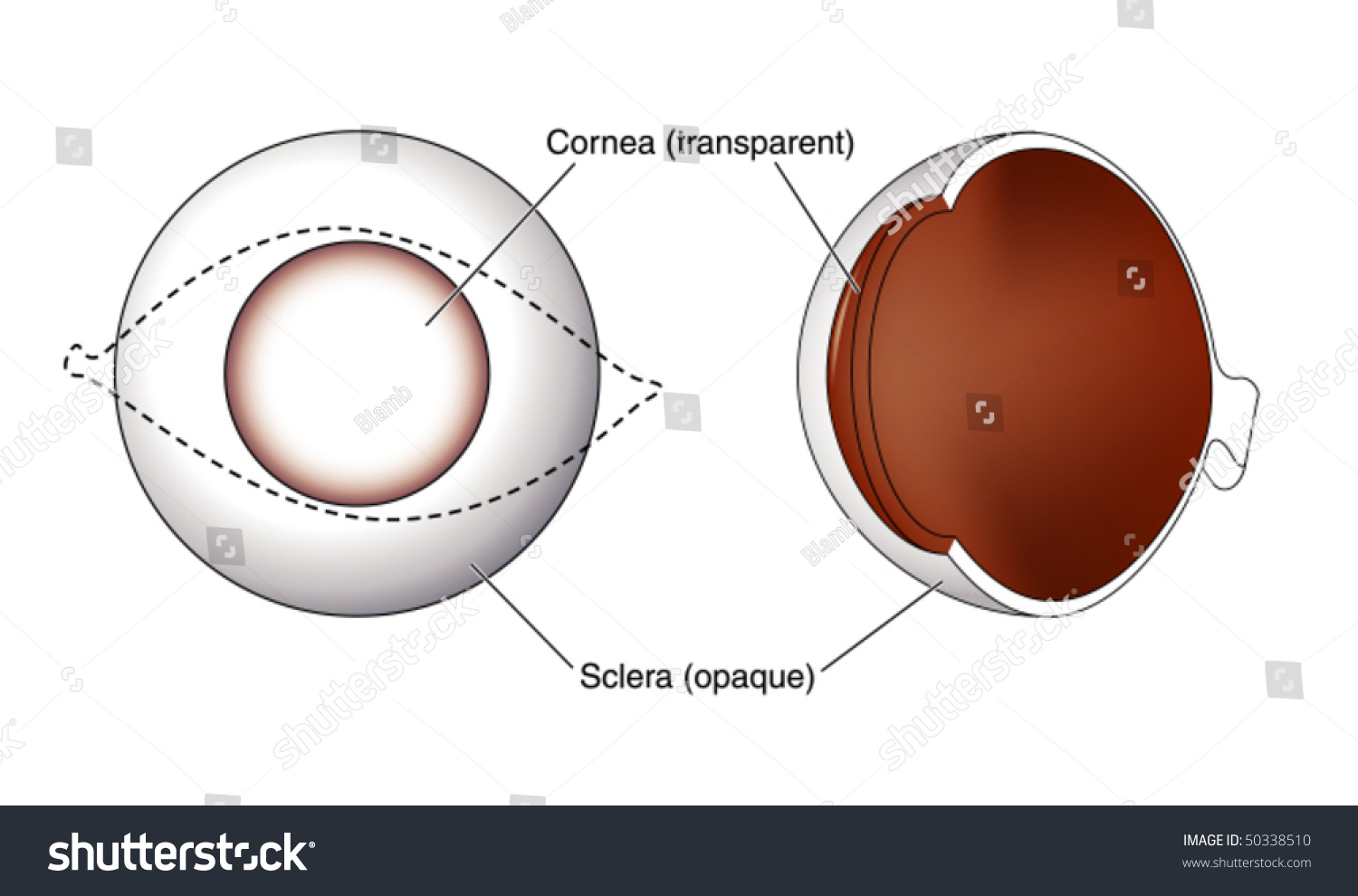 Cornea Sclera Eye Labeled Stock Vector Royalty Free 50338510
