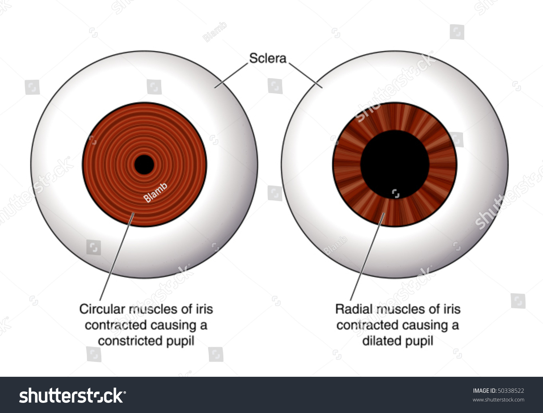 Eye Contraction Iris Labeled Stock Vektorgrafik Lizenzfrei