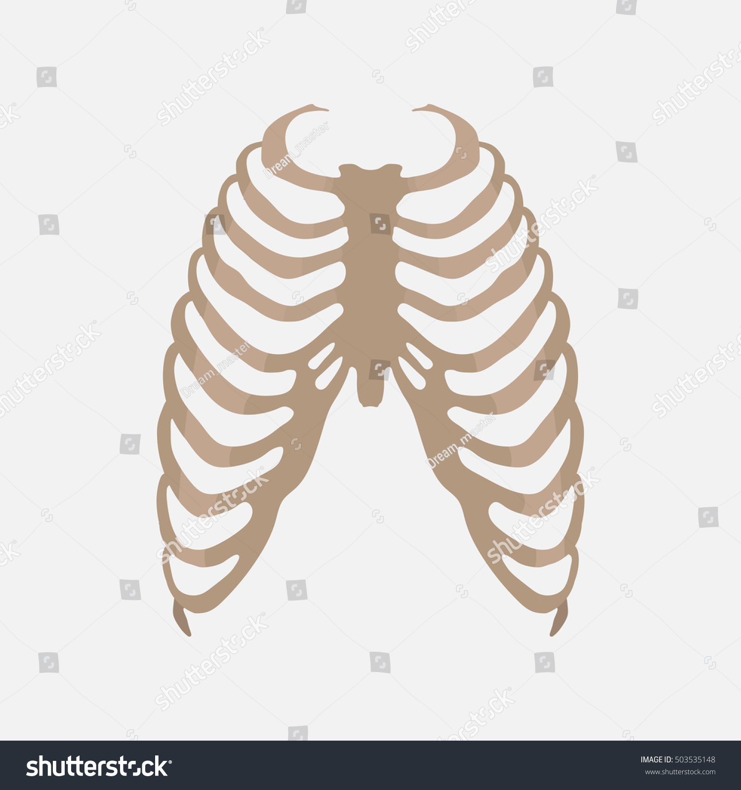 Thorax Human Anatomy Study Body Medical Stock Vector Royalty Free