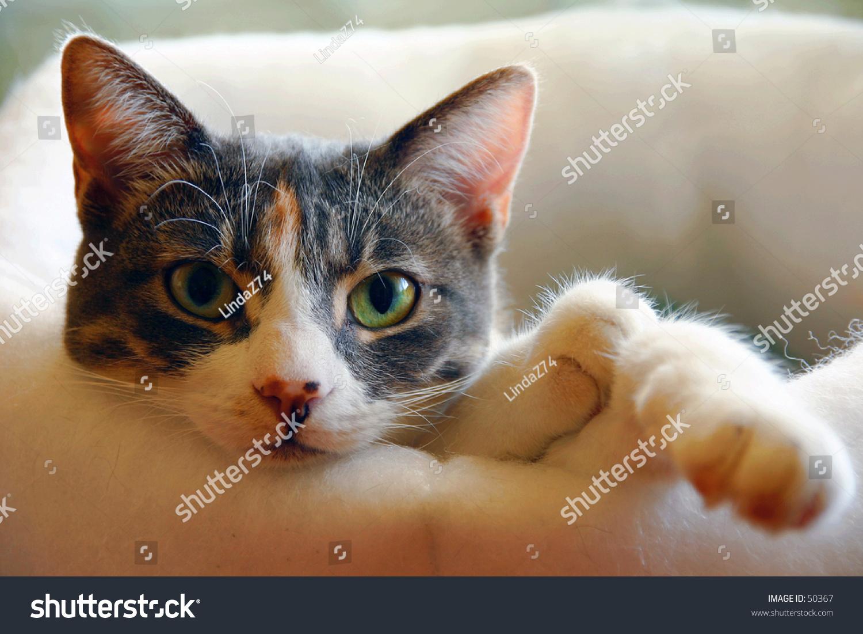 Green Eyed Calico Cat Stock Photo 50367 - Shutterstock