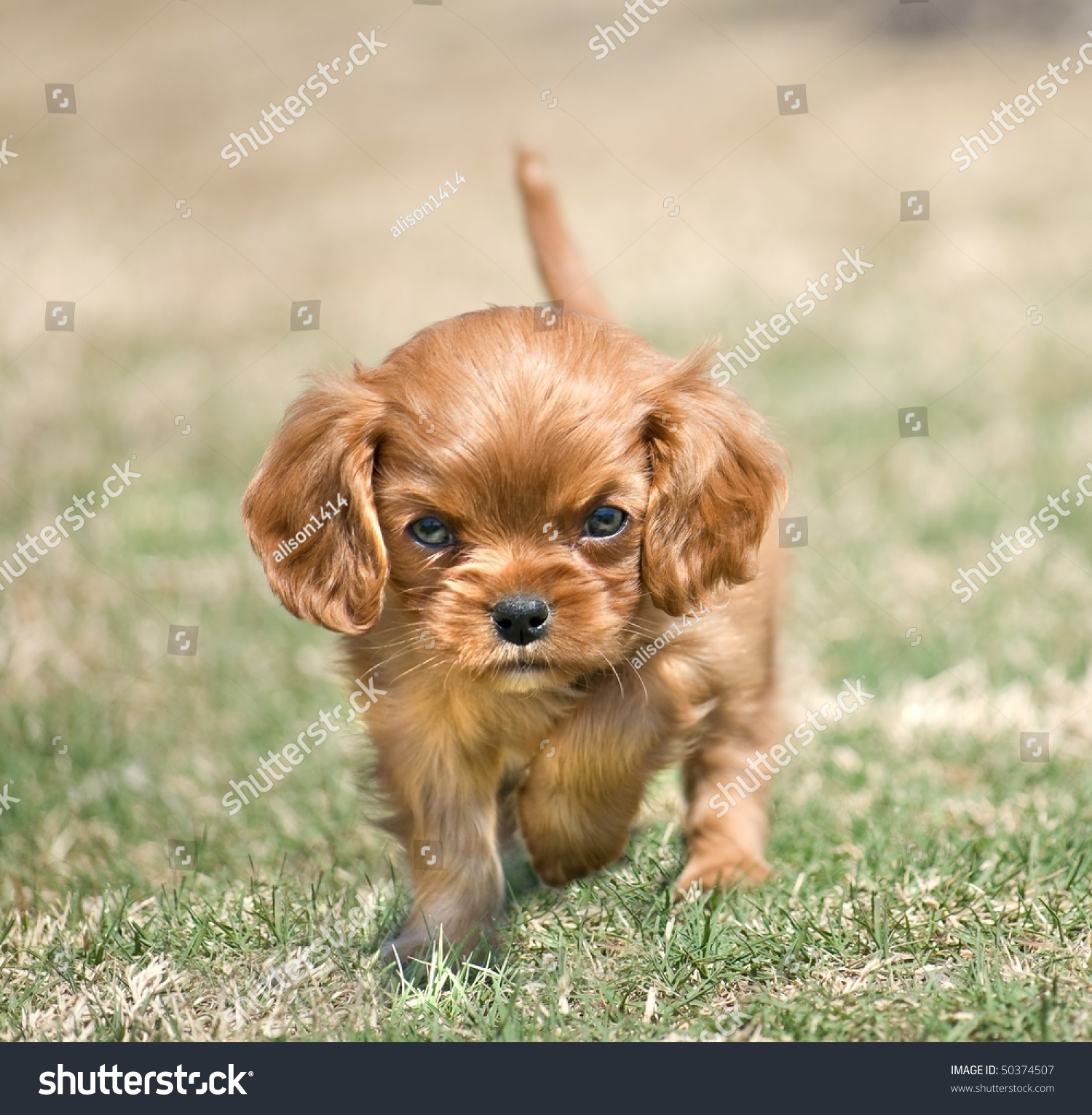 stock-photo-angry-puppy-cavalier-king-ch