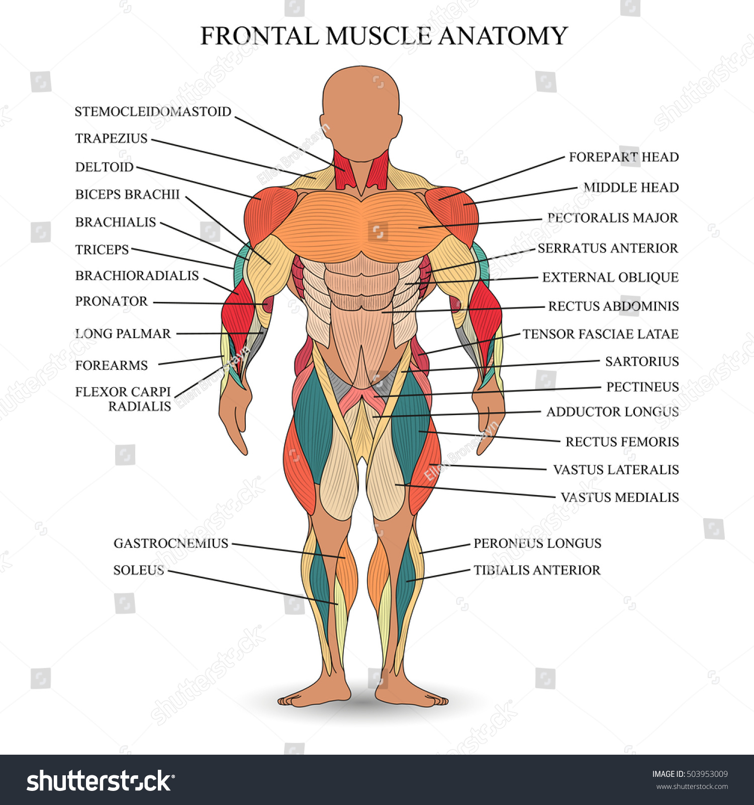 anatomy human muscles front template medical のベクター画像素材
