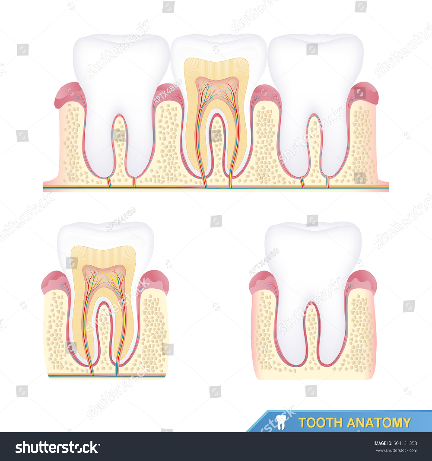 Human Tooth Anatomy Cross Section Stock Vector 504131353 - Shutterstock