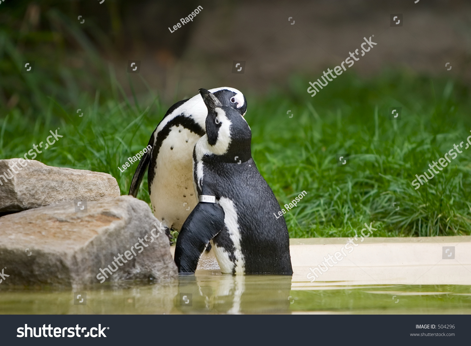 Aninimal Book: Two Penguins Kissing Stock Photo 504296 : Shutterstock