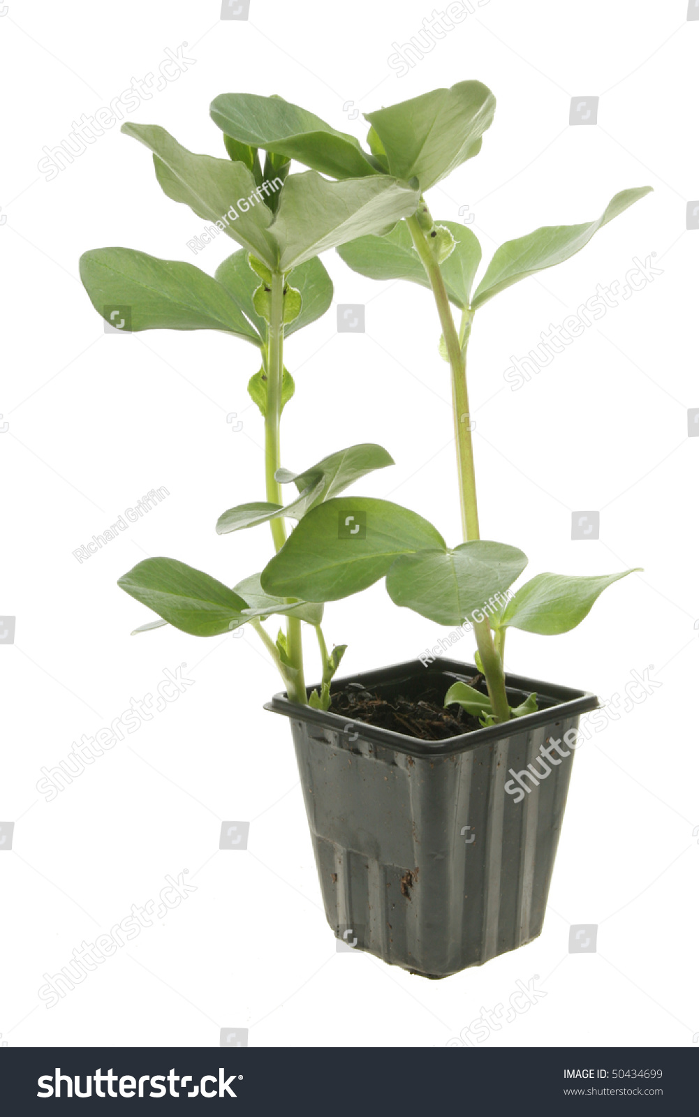 Young Broad Bean Plants Plastic Pot Stock Photo 50434699