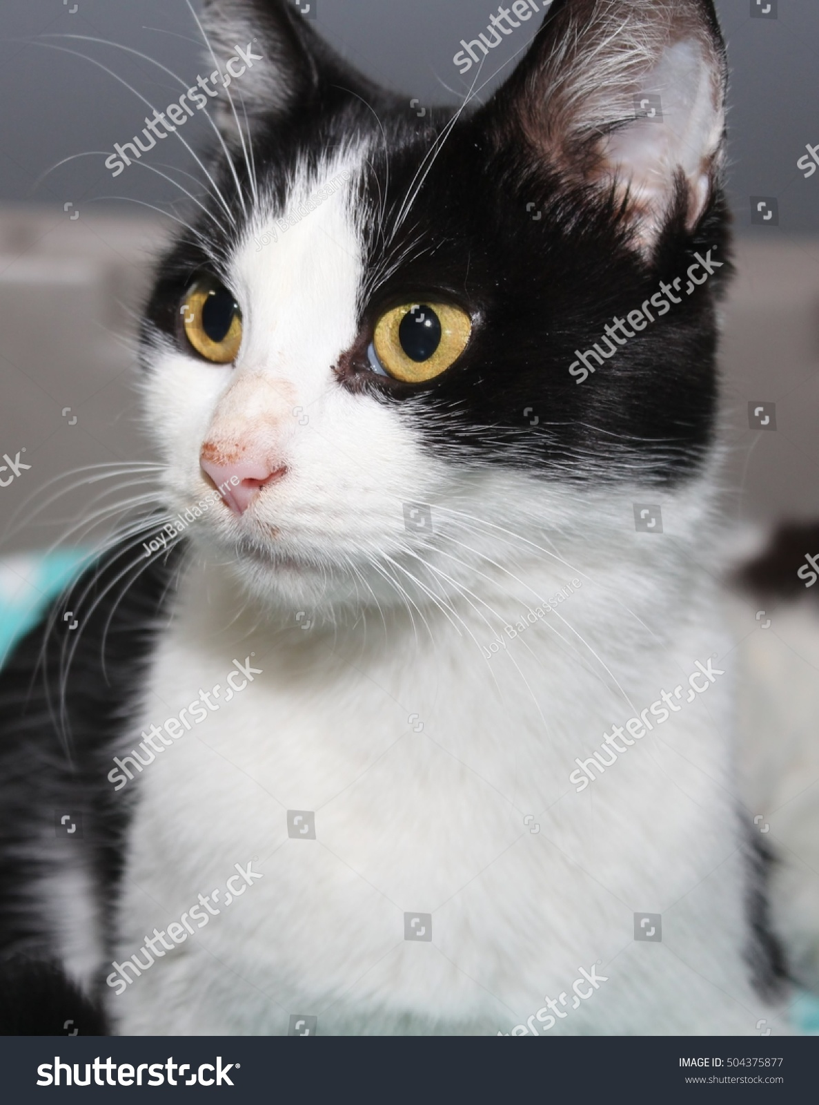 Black And White American Wirehair Cat 51797   TRENDNET