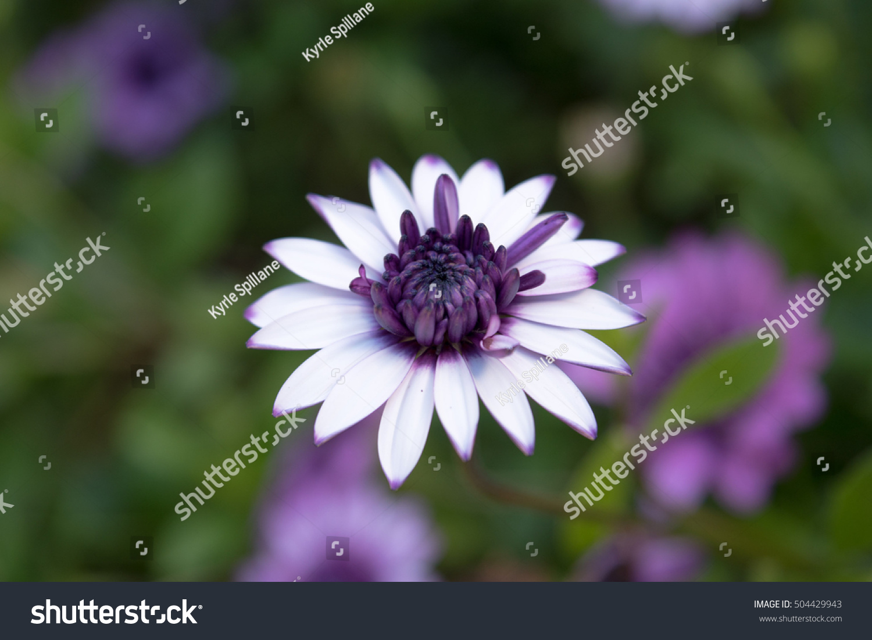 Single White Osteo Flower With Deep Purple Centre Ez Canvas